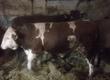 Byki na ubój byki 20 sztuk Mięsny i mieszany