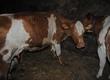 Krowy mam do sprzedania 4 krowy mleczne