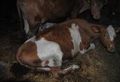 krowy mleczne 2
