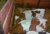 Sprzedam 5 byczków miesnych i 5 czarno białych i jałoszke mięsną 3
