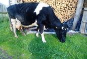 sprzedam krowę mleczną rasy HO