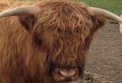 sprzedam byka highland