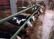 Byki na ubój Witam sprzedam 9 byczków miesza