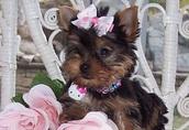 Ładne szczenięta yorkshire terrier.