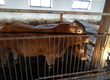 Byki rozpłodowe Sprzedam 5 byków 100% limusine