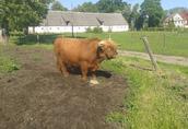 Byk Rozpłodowy Rasy Highland
