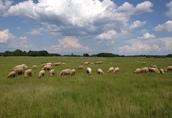 Owce z gospodarstwa ekologicznego