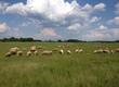 Owce Sprzedam owce do chowu matki z