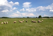 Owce z gospodarstwa ekologicznego 1