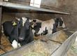 Byki na ubój 2 byki ncb 700-800kg i pierwiastka
