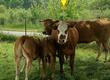 Krowy Sprzedam całe stado bydła mięsnego