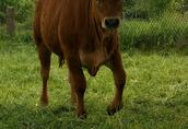 Stado bydła mięsnego Limousine 5 szt. 1