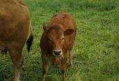 Stado bydła mięsnego Limousine 5 szt. 2