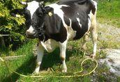 krowa HF spokojna zadbana