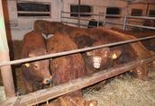 Byki opasy odsadki mięsne