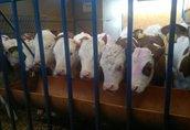 sprzedaż cieląt mięsnych.cielaki byczki simentale krzyżówki eko