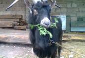 Okazja sprzedam stado kóz doinych