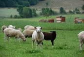 owce tryk jagnięta owieczki barany kosiarki baranki