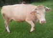 Giełda bydła Mam do sprzedania 3-letnią krow