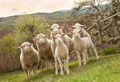 Sprzedam Owce Jagnieta
