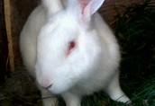Sprzedam kontaktowe króliki do dalszej hodowli