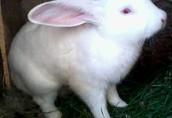 Sprzedam kontaktowe króliki do dalszej hodowli  1