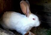 Sprzedam kontaktowe króliki do dalszej hodowli  3