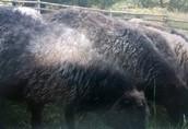 Owce Wrzosówski sprzedam
