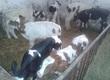 Cielaki i opasy W ciągłej sprzedaży byczki, NCB
