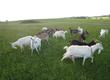 Kozy Sprzedam mleko kozie Mleko kozie