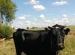 Pozostałe zwierzęta hodowlane Krowa mleczna w bardzo dobrej kondycji