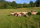 sprzedam owce mięsne matki 300zł i jagnięta tegoroczne10zł/kg