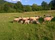 Owce sprzedam owce mięsne matki 300z