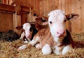 byczki cielęta mięsne simental 60 - 90 kg