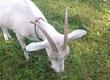 Kozy sprzedam mleko kozie Legionowo