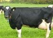 Jałówki Holstein-Friesian Roczna wydajno