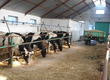Krowy Sprzedam 8 krów po pierwszym wycieleniu