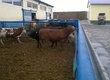 Cielaki i opasy Opasy mięsne 200-300 kg. Cena od