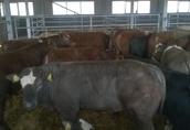 Opasy, byki, odsadki mięsne 200-300 kg