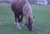 Koń na sprzedaż