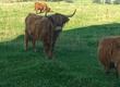 Krowy Witam, mam do sprzedania bydło szkockie