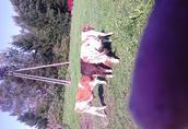 sprzedam byczki do dalszego chowu rasy mięsnej