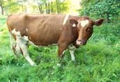 Sprzedam 3 krowy mięsne