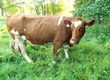 Krowy Sprzedam krowy mięsne. Pięcioletni