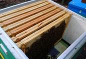 Odkłady pszczele, matki unasiennione