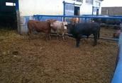 Byki ,opasy odsadki mięsne 2