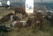 Byki ,opasy odsadki mięsne 3