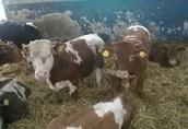 Byki ,opasy odsadki mięsne 4
