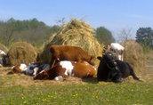 Ekologiczne Byki do rozrodu