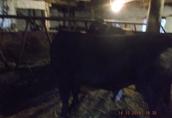 sprzedam byka mięsnego